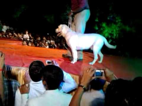 Labrador dog attacking demo...