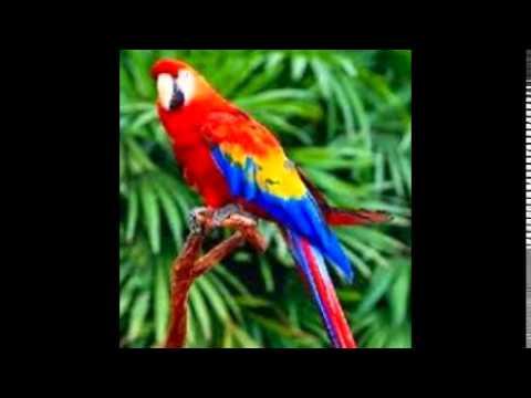 Burung Nuri Bicara Jorok video