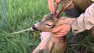 Le brocard en Pologne - part 1 (La chasse au chevreuil)