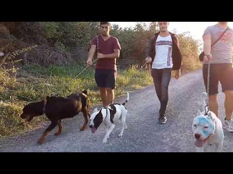 2 Pitbull 1 Rottweiler İle Sokağa Çıktık - Kangal , Dogo , Alman Kurdu Bakın Bizi Görünce Ne Yaptı!!