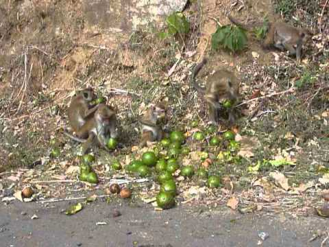 Sri  Lanka,ශ්‍රී ලංකා,ceylon,toque Macaque Eats Avocado video