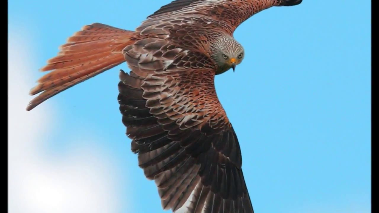 Kite Bird Image Birds of Prey Red Kites