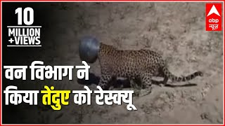 Rajasthan: Forest department rescues leopard whose head got stuck in a metal pot
