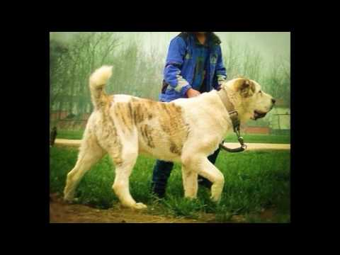Top 10 Biggest Guard Dog on Earth 2015   Caucasian Shepherd