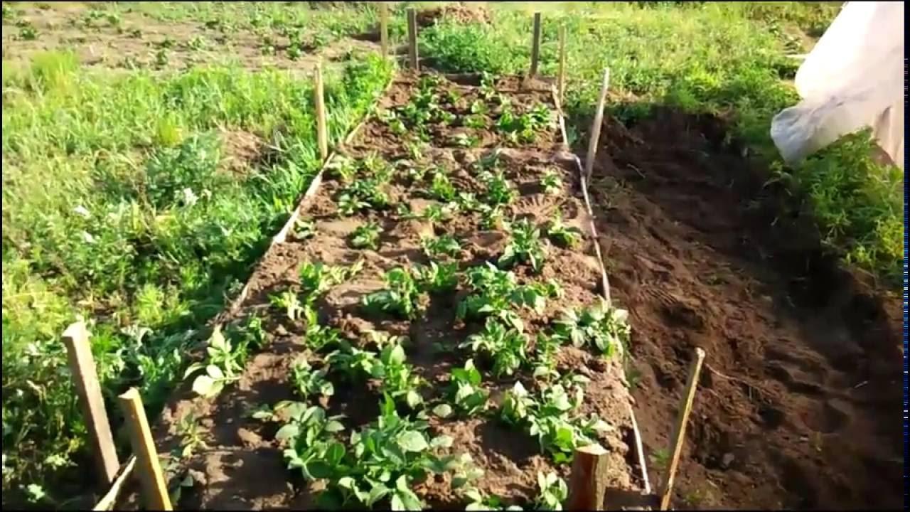 Нетрадиционные технологии выращивания картофеля 61