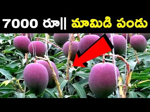 World's Most Expensive Mango || T Talks
