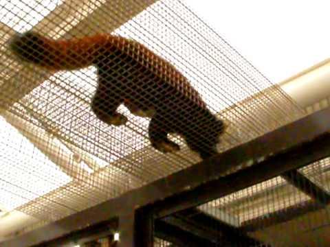 ご飯が待ち遠しいレッサーパンダ
