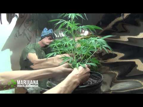 Pruning for Bigger Buds: Marijuana Growing Tips