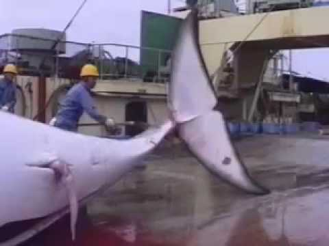 Antarctic Whale Defense Campaign