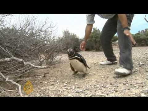Argentine penguin colony under threat