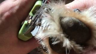 How to trim black dog nails