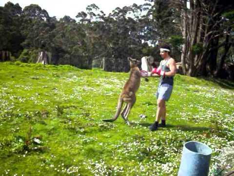 Kanguru ve Adam Dövüşürse