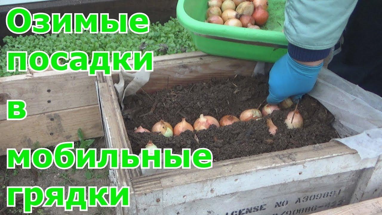 Можно ли сажать в теплицу с помидорами репчатый лук 67