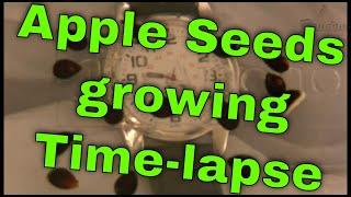 Download Lagu Three week time lapse of apple seeds growing Gratis STAFABAND