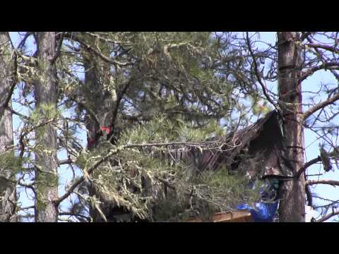Tree Cutting and Tree Sitter Surveillance 3/25/2013.  Willits, California