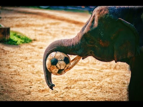 Elephants Playing Soccer - Thailand (Ch 26)