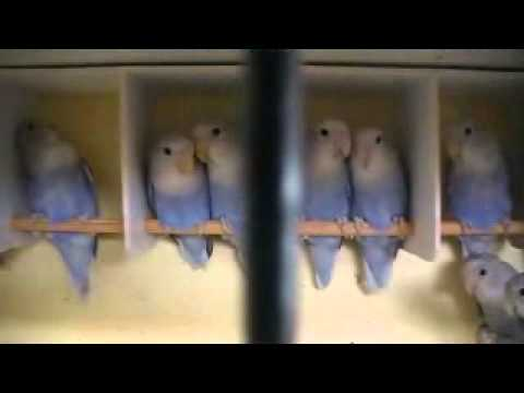 Love Bird Picture For Sale Opaline Blue Violet For Sale