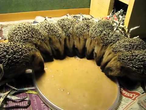 ハリネズミの食事風景が可愛すぎる映像