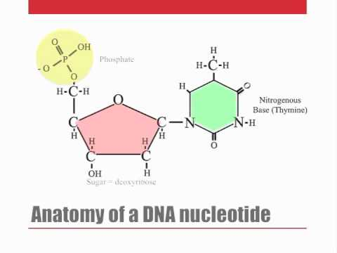DNA nucleotides and dehydration synthesis