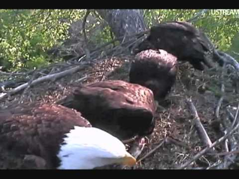 DECORAH EAGLES   MAY 19, 2012   7:50 AM  CST    LOT OF FISH STEALS & MANTLEING