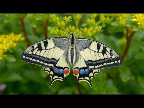 Papilio machaon - Schwalbenschwanz, Swallowtail, Paź królowej