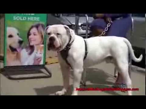 American Heads American Bull Dog 30inch Head