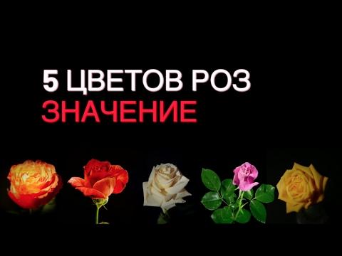 Значение цвета. Что означают цвета роз? | 5 цветов розы и значения!