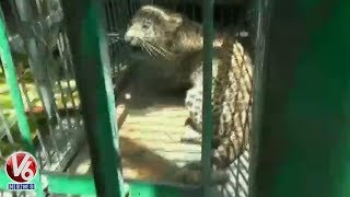 Leopard Cub Rescued By Police And Forest Department At Pithoragarh | Uttarakhand  Telugu News
