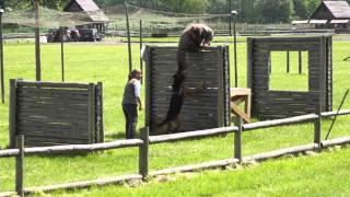 Tresura psa - owczarek atakuje pozoranta na wysokości cz.2
