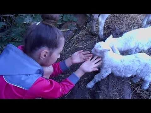 У нашей #козочки  родились #козлята.