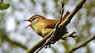 Wren Singing - Tiny Bird with a Giant Voice