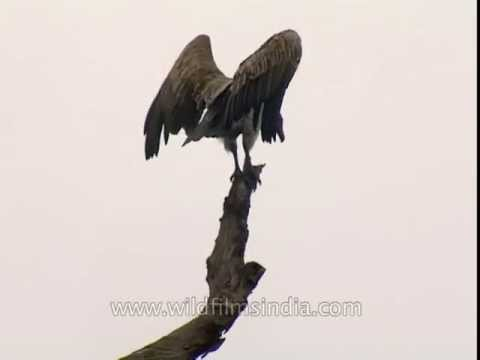 White-rumped Vulture in Corbett National Park