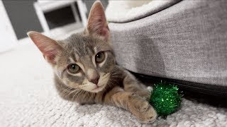 Meet Our New Kitten We Adopted From The Animal Shelter! - Tulsa SPCA