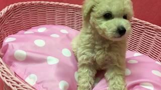 【かわいい子犬】トイプードル