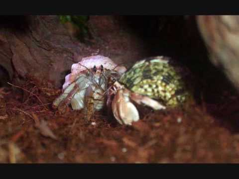 Hermit Crabs- Easy to Care for Pets or Mistreated Animals? Video