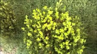 bruxinho bolsais arbusto