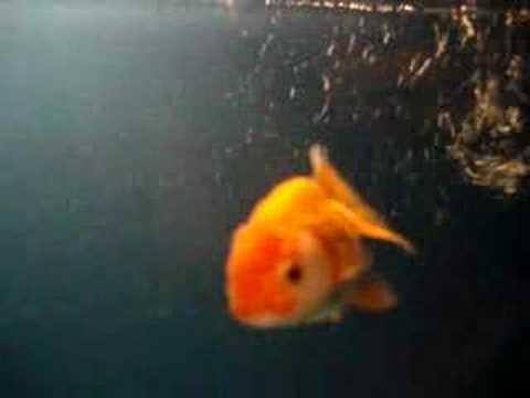 cute goldfish cartoon. Chinese Lionchu Goldfish!