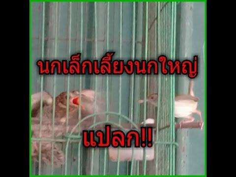 นกเล็กเลี้ยงนกใหญ่2 โตจนบินได้แล้วก็ยังเลี้ยงต่อ งง!!(แปลกแต่จริงนะ)