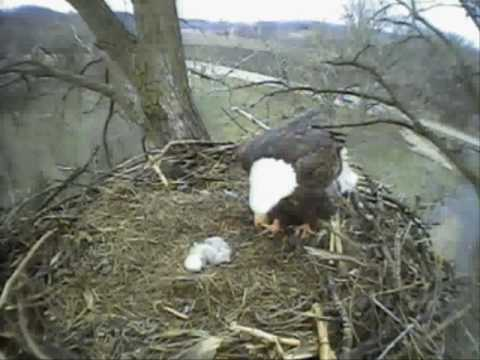 second Eaglet feeding 04/06/10 Bald Eagle Cam Fish Hatchery, Decorah, IA Second Hatch 04/05/10
