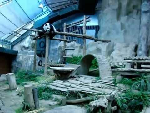 チェンマイ動物園・パンダの4・お尻が・・・かゆいと寝ているパンダ