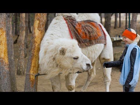 Кавказ. Гора-Кольцо, Кисловодск. Верблюд, лошадь, як. HQ Kavkaz