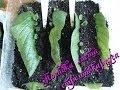 Размножение стрептокарпуса листом в домашних условиях часть 1-я