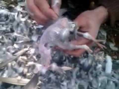 чистка голубей