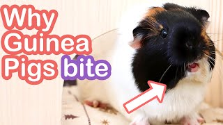 6 Reasons Your Guinea Pig Bites & How to Stop This