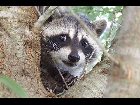 Funny And Cute Raccoon Videos Compilation 2014 New Youtube