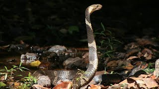 Amazing King Cobra Save Baby Crocodile From Monitor Lizard Hunting - Animals Save Other Animals