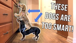Dachshund Puppy & Dog Are TOO Smart for Their Own Good!