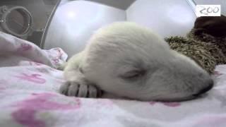 赤ちゃんホッキョクグマが夢の中へ・・・鳴き声と寝相に癒されます。