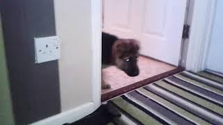 Gsd puppies first walk downstairs