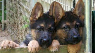 Heavy bone GERMAN SHEPHERD (Gsd) PUPPIES....for sale in Bijnor and Moradabad || Harshit Kumar ||